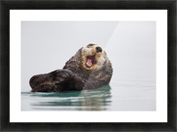 Sea Otter Floating On Back Scratching Head And Yawning, Prince William Sound, Southcentral Alaska, Winter Picture Frame print