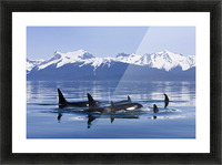 Orca Surface In Lynn Canal Near Juneau With Coast Range Beyond, Inside Passage, Alaska Picture Frame print