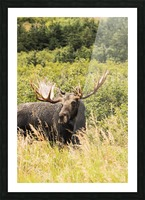 Bull moose (alces alces) in the rutting period, Powerline Pass, South-central Alaska; Anchorage, Alaska, United States of America Picture Frame print