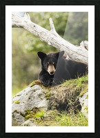 Black bear cub (ursus americanus), captive at the Alaska Wildlife Conservation Center, South-central Alaska; Portage, Alaska, United States of America Picture Frame print
