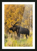 Bull moose (alces alces) with antlers, South-central Alaska; Anchorage, Alaska, United States of America Picture Frame print
