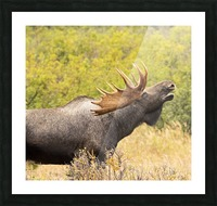 Bull moose (alces alces) doing flehman response to check on cow moose during the rut, South-central Alaska; United States of America Picture Frame print