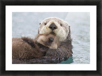 Female Sea Otter Holding Newborn Pup Out Of Water, Prince William Sound, Southcentral Alaska, Winter Picture Frame print