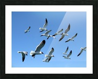 Seagulls against a clear blue sky Picture Frame print