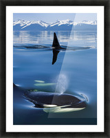 Composite: Close Up Of Orca Whales As They Surface In Lynn Canal With The Coast Range Mountains In The Background, Inside Passage, Southeast Alaska Picture Frame print