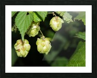 Hop cones Picture Frame print