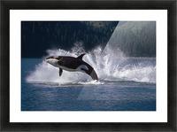 Double Breaching Orcas Bainbridge Passage Prince William Sound Alaska Summer Southcentral Picture Frame print