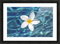 Plumeria flower floating in clear blue water. Picture Frame print