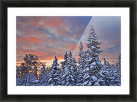 View Of Snow Covered Spruce Trees In A Rural Area Of Anchorage At Sunset, Southcentral Alaska, Winter Picture Frame print