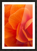 Macro View Of A Orange Begonia Flower During Summer Picture Frame print