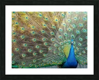 Peacock Feathers Full Frame Picture Frame print