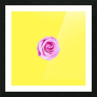 closeup pink rose with yellow background Picture Frame print