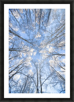 Looking Up Through Hoarfrost Covered Birch Trees In Russian Jack Park, Anchorage, Alaska Picture Frame print