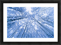 Tree Top Abstract Of A Snow Covered Birch Forest, Winter, Anchorage, Alaska Picture Frame print