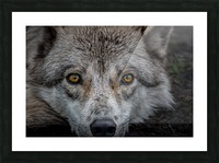 WolfDog2 Picture Frame print