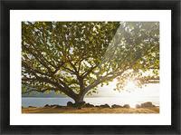 Hawaii, Kauai, Hanalei Bay, Large tree on beach, Sun shining. Picture Frame print