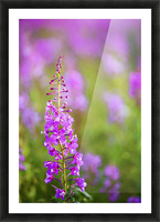 Fireweed Detail Near Anchor Point On The Kenai Peninsula In Southcentral Alaska. Picture Frame print