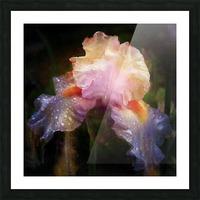 Enchanted Iris   Picture Frame print