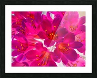 closeup pink flower texture abstract background with orange pollen Picture Frame print