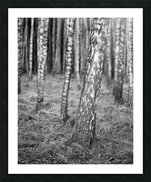 The Birches Picture Frame print
