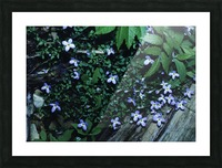 Little Bluets  Picture Frame print