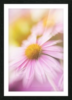 Dreamy Pink Coneflower  Picture Frame print
