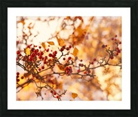 Winterberries in golden light Picture Frame print