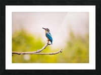 kingfisher 2363879 Picture Frame print