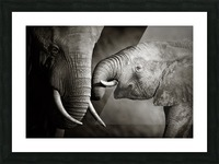 Elephant affection Picture Frame print