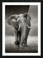 Elephant approach from the front Picture Frame print