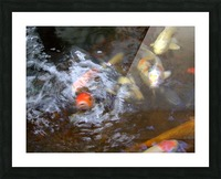 koi fish Picture Frame print