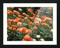 Orange Flowers Growing in Napa Califoria  Picture Frame print
