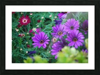 Purple Flowers in Dana Point CA Picture Frame print