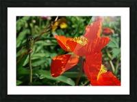 Orange Poppy Flowers Growing Picture Frame print