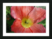 Poppies Growing in A Garden Picture Frame print