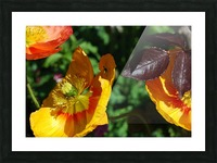 Yellow Poppies Growing in a Garden Picture Frame print