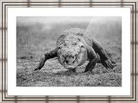 Crocodile Ghana Picture Frame print
