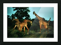 Giraffes at sundown 2 Picture Frame print