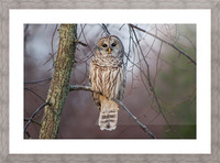 Barred Owl at sunrise. Picture Frame print