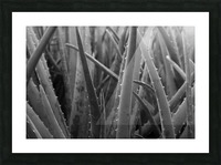 Aloe Picture Frame print