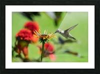 Colibri butinant Picture Frame print