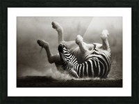 Zebra rolling in the dust Picture Frame print