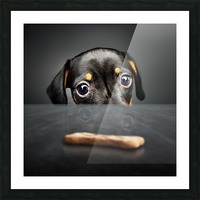Puppy longing for a treat Picture Frame print