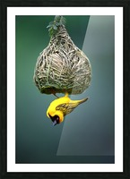 Masked weaver at nest Picture Frame print