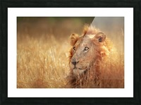 Lion in grassland Picture Frame print
