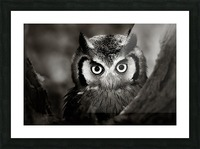 Whitefaced Owl close-up Picture Frame print