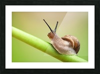 Snail on green stem Picture Frame print