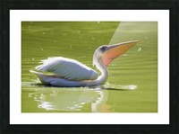 Pelican Picture Frame print