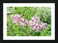 Bright Lilac  Picture Frame print