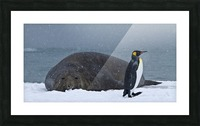 King Penguin walking nest to Elephant Seal Picture Frame print